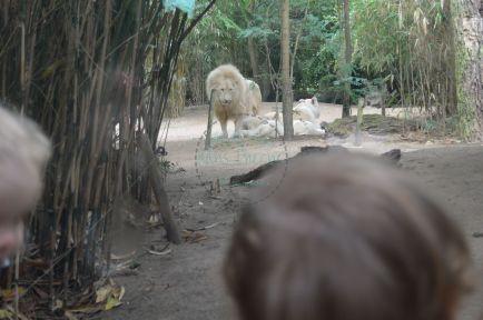 le lion blanc et sa famille