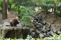 l'ours grizzli